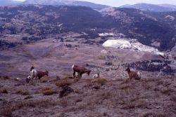 Bighorn Sheep on Mt Everts with Mammoth Hot Springs in the background Photo
