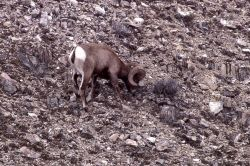 Bighorn Sheep ram near confluence of Lamar River & Soda Butte Creek Photo
