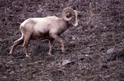 Bighorn Sheep ram Photo