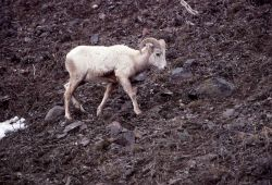 Bighorn Sheep white ewe near confluence of Lamar River & Soda Butte Creek Photo