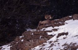 Bighorn Sheep ram in snow on lower slopes of Druid Peak Photo