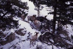 Bighorn Sheep rams in snow in Gardner canyon Photo