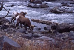 Bighorn Sheep rams at Gardner River Photo