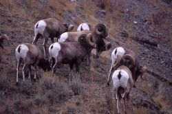 Bighorn Sheep rams in Gardner canyon Photo