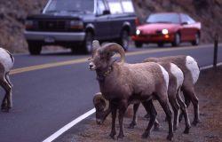 Bighorn Sheep rams with traffic in Gardner canyon Photo