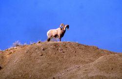 Bighorn Sheep ram west of Gardner canyon road Photo