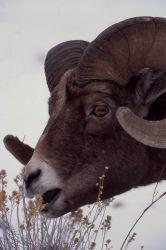 Bighorn Sheep ram in Lamar Valley Photo