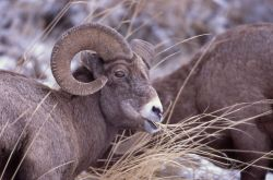 Bighorn Sheep ram in Lamar Valley Photo