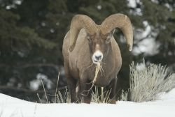 Head on view of Bighorn Sheep ram above Yellowstone River near Tower Photo
