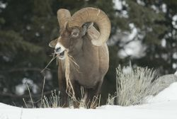Bighorn Sheep ram in winter with grass in its mouth, above Yellowstone River near Tower Photo
