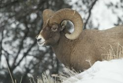 Side view of Bighorn Sheep ram standing in snow above Yellowstone River near Tower Photo