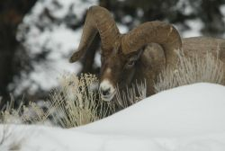 Bighorn Sheep ram eating in snow above Yellowstone River near Tower Photo