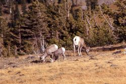 Bighorn Sheep ewe and lambs on Mt Washburn Photo