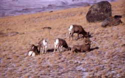 Bighorn Sheep on Mt Everts Photo
