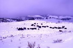 Bison near Junction Butte in snow Photo