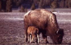 Bison with nursing calf Photo