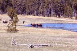 Bison crossing Firehole River Photo