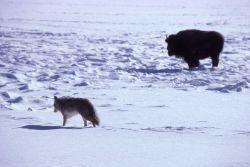 Bison & coyote Photo