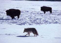 Bison & coyote Photo