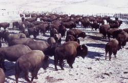 Bison on Buffalo Ranch Photo