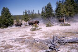 Bison at Fountain Flats Photo