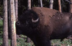 Bull bison scratching chin on tree Photo