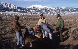 Gutting bison following hunt near Gardiner, Montana Photo