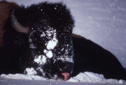 Bison licking snow Photo