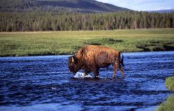 Bison in river Photo