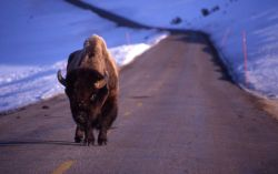 Bison on road in lamar Valley Photo