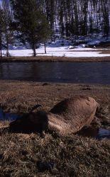Dead bison near Gibbon River Photo