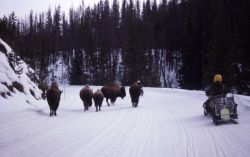 Bison on road in with ranger on snowmobile Photo
