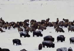 Bison & elk herd in Lamar Valley Photo