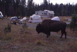 Bison at Bridge Bay campground Photo