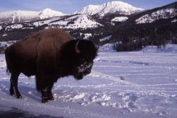 Bison at Soda Butte in winter, The Thunderer & Mt Norris in background Photo