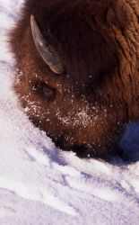 Bison at Soda Butte in winter Photo