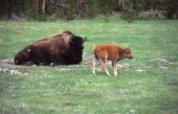 Bison with calf near Madison Junction Photo