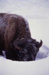 Bison at Round Prairie/Pebble Creek Photo