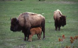 Bison cow with nursing calf Photo