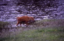 Bison calf at Nez Perce Creek Photo
