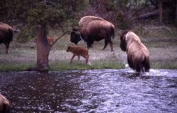Bison cows & calves crossing Nez Perce Creek Photo