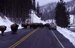 Bison on road along Firehole River Photo