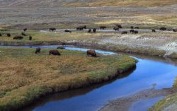 Bison herd at Trout Creek Photo