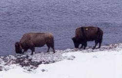 Bison along Madison River Photo