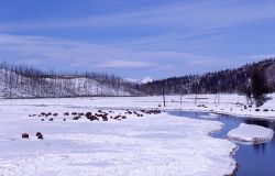 Bison in winter beside Madison River Photo