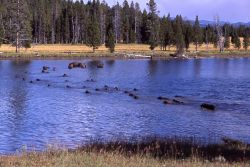 Bison in Yellowstone River upstream of LeHardy Rapids Photo