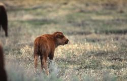 Bison calf standing Photo