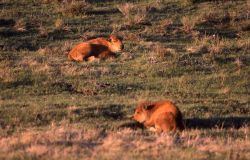 Two bison calves laying in grass Photo