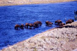 Bison in Madison River Photo