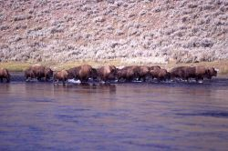 Bison crossing the Madison River Photo